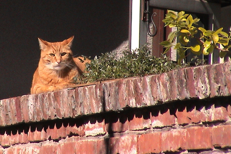Rufus sunning himself on our brick wall.